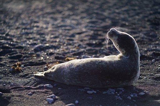 Seal, Animal, Beach, Mammal, Pinniped, Whiskers
