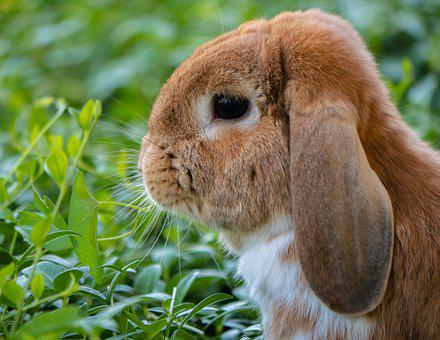 Rabbit, Bunny, Pet, Animal, Mammal, Easter Bunny, Cute