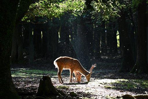 Deer, Antler, Animal, Forest, Mammal, Nature, Trees