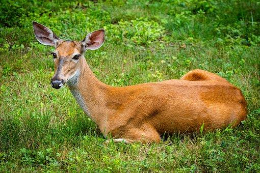 Deer, Animal, Mammal, Nature, Wildlife, Grass, Meadow