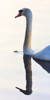 Swan, Bird, Water Bird, Animal, Neck, Wildlife, Species