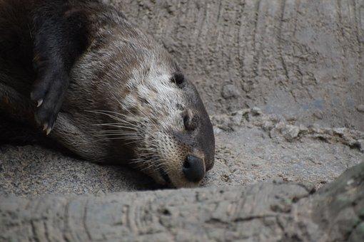Otter, Animal, Mammal, Tired, Sleeping