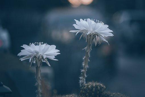 Flowers, Cactus, Plants, White Flowers, Petals