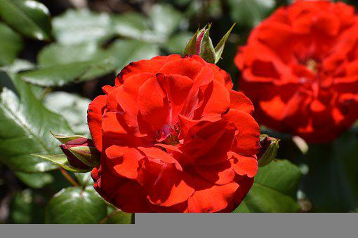Roses, Flowers, Red Roses, Buds, Rose Bloom, Petals