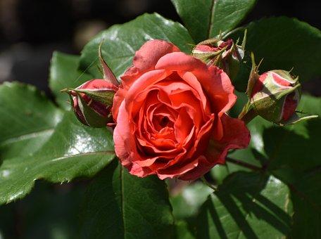 Rose, Flower, Buds, Rose Bloom, Petals, Rose Petals