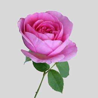 Pink, Rose, Flower, Bloom, Delicate, Spring Flowers