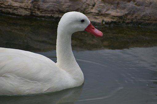 Duck, Bird, White Duck, Lake, Animal, Plumage, Feathers