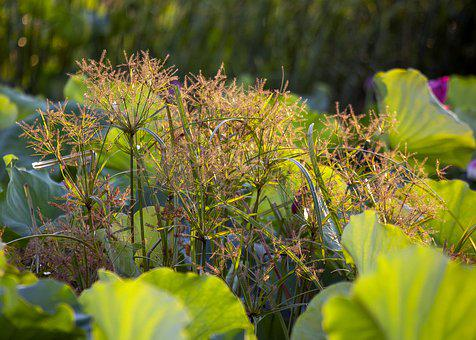 Reeds, Flowers, Plants, Weeds, Grass, Leaves, Foliage