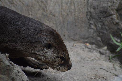 Otter, Animal, Mammal, Semiaquatic Animal, Tired