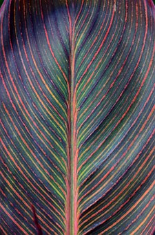 Canna Lily, Pattern, Botany, Leaf, Nature, Tropical