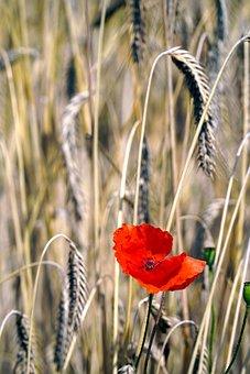Wheat, Poppy, Wheat Field, Field, Cereals, Barley