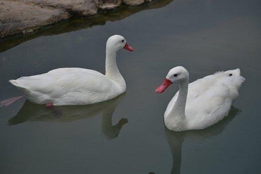 Ducks, Birds, White Ducks, Lake, Animals, Plumage