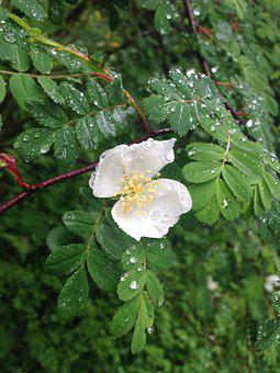 Dog-rose, Flower, Dew, Dewdrops, Petals, White Petals