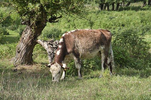 Cow, Cattle, Animal, Beef, Livestock, Mammal, Farm