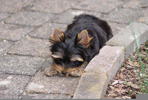 Yorkshire Terrier, Puppy, Pet, Canine, Animal, Dog