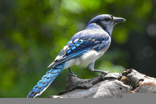 Blue Jay, Bird, Perched, Animal, Plumage, Feathers