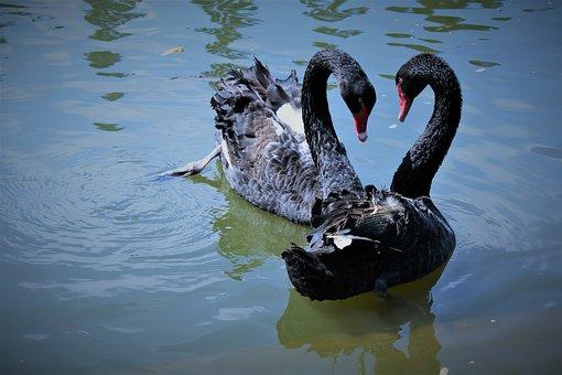 Swans, Birds, Black Swans, Animals, Pair