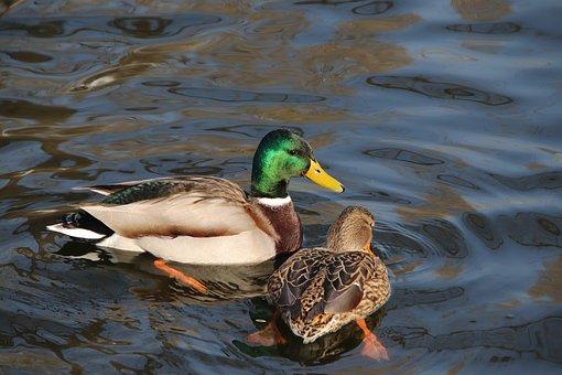 Ducks, Mallards, Birds, Lake, Animals, Waterfowls