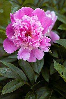 Rose, Flower, Pink Rose, Plant, Flora, Blossom, Bloom