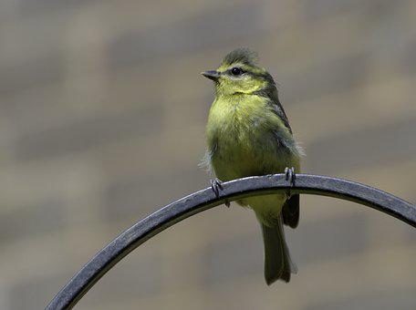 Blue Tit, Bird, Perched, Tit, Animal, Feathers, Plumage