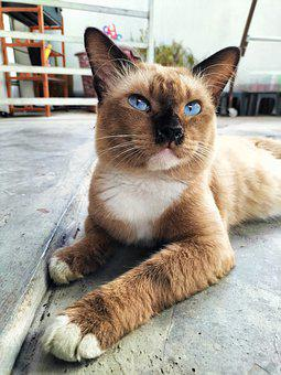 Cat, Pet, Feline, Animal, Fur, Whiskers, Lying, Kitty