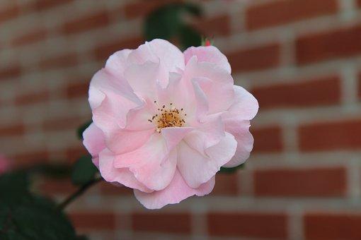 Dog-rose, Flower, Pink Flower, Petals, Pink Petals