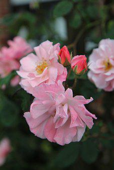 Dog-roses, Flowers, Pink Flowers, Petals, Pink Petals