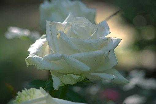 Rose, Flower, White Rose, Petals, White Petals, Bloom