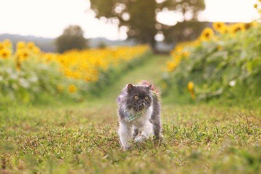 Persian, Cat, Pet, Feline, Animal, Fur, Kitty, Domestic
