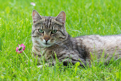 Cat, Pet, Feline, Animal, Fur, Lying, Whiskers, Kitty