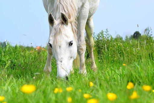 Horse, Animal, Mammal, Equine, Grazing, White Horse