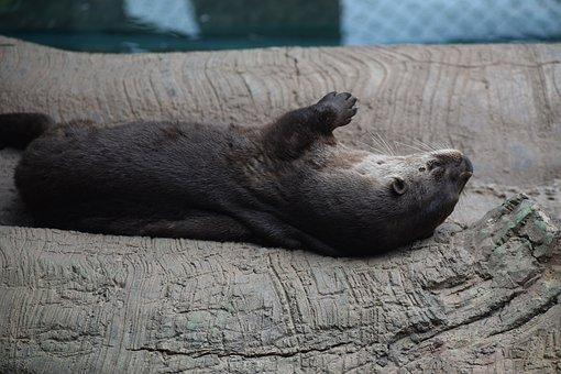 Otter, Animal, Mammal, Lying, Tired, Sleeping
