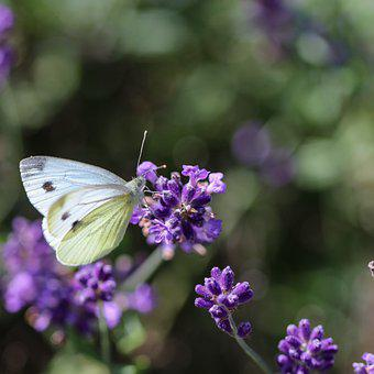 Butterfly, Flowers, Pollinate, Lavender, Pollination