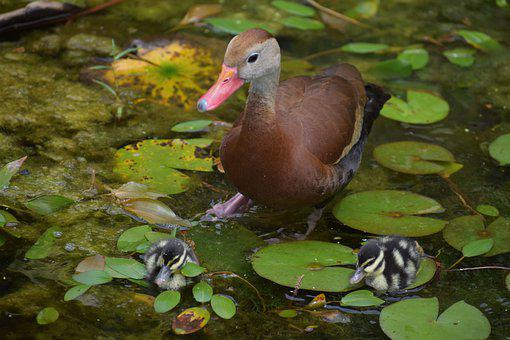 Duck, Birds, Pond, Ducklings, Lily Pads, Animals