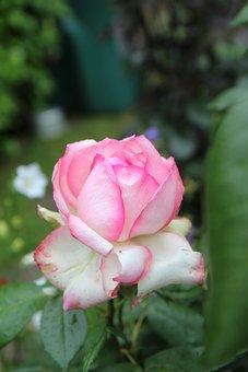 Rose, Flower, Pink Rose, Rose Bloom, Petals