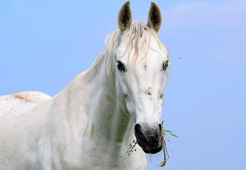 Horse, Animal, Mammal, Equine, White Horse, Rural, Farm
