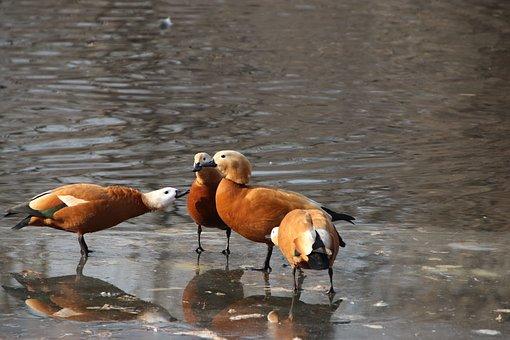 Ruddy Shelducks, Ducks, Pond, Birds, Waterfowls