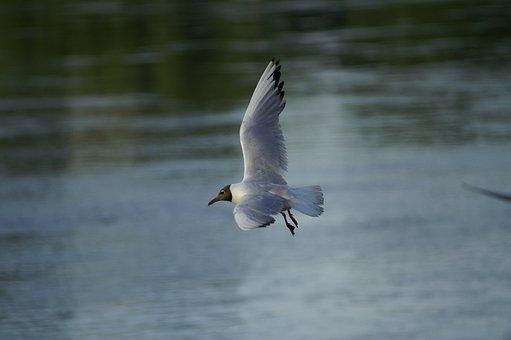 Seagull, Bird, Freedom, Nature, Water, Fly, Birds