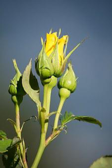 Rose, Yellow, Yellow Rose, Blossom, Bloom, Closed