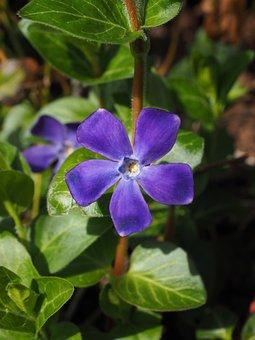Evergreen, Flower, Blossom, Bloom, Purple, Violet