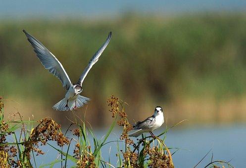 Common Tern, Sterna Hirundo, Bird, Fly, Birds, Wings