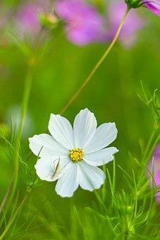 Cosmea Bipinnata, Cosmea, Como Bipinnatus, Flower