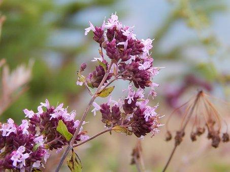 Flowers Of The Field, Marjoram, Macro