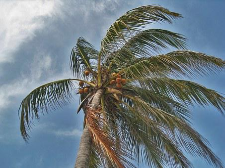 Palm Tree In The Storm, Florida, Hurricane, Forward