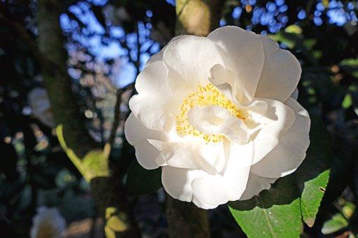 Japanese Camellia, White, Large Blooms, Bush, Tree