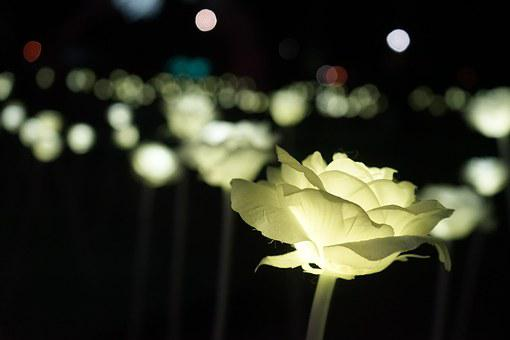 Rose, Lights, Led, Festival Of Lights, Winter