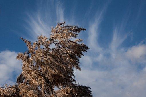 Reed, Phragmites Australis, Grass, Poaceae, Marsh Plant