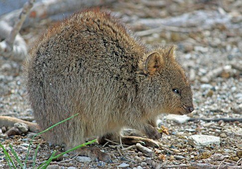 Quokka, Marsupial, Kangaroo, West Australia