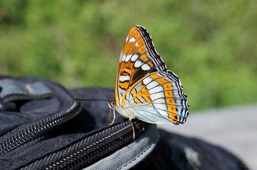 Butterfly, Summer, Namekomye, Nature, Insect, Macro