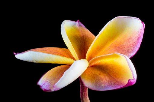 Blossom, Bloom, Flower, Frangipani, Plumeria